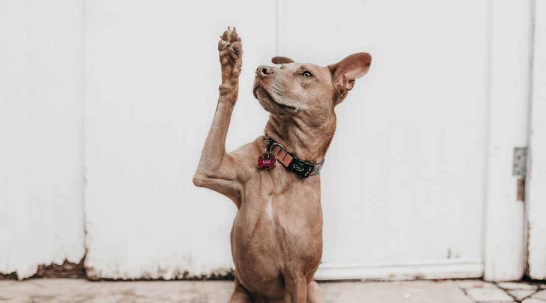 brown dog doing a high five